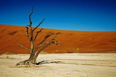 Árvores inoperantes de Deadvlei Namíbia, fim acima de uma árvore fotografia de stock royalty free