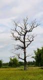 Árvores inoperantes Drieds Imagens de Stock Royalty Free