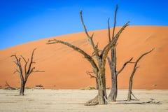 Árvores inoperantes em uma bandeja de sal no Deadvlei Fotografia de Stock Royalty Free