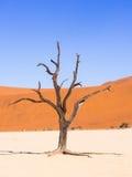 Árvores inoperantes em Vlei inoperante, Namíbia Imagem de Stock Royalty Free