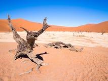Árvores inoperantes em Vlei inoperante, Namíbia Foto de Stock