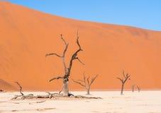 Árvores inoperantes em Vlei inoperante, Namíbia Fotografia de Stock