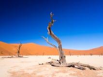 Árvores inoperantes em Vlei inoperante, Namíbia Foto de Stock Royalty Free
