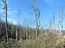 Árvores inoperantes na floresta, Lituânia Imagem de Stock