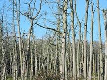 Árvores inoperantes na floresta, Lituânia Foto de Stock