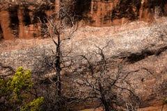 Árvores inoperantes na frente da parede vermelha da rocha Foto de Stock Royalty Free
