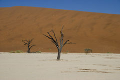 Árvores inoperantes no deserto de Namib Imagem de Stock