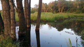 árvores inundadas fotografia de stock royalty free