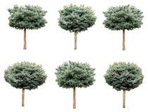 Árvores isoladas, abeto vermelho azul foto de stock