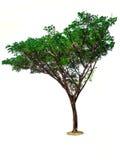 Árvores isoladas no fundo branco Imagem de Stock
