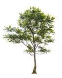 Árvores isoladas no fundo branco Fotos de Stock
