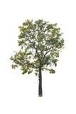 Árvores isoladas no fundo branco Foto de Stock Royalty Free