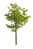 Árvores isoladas no fundo branco Fotografia de Stock Royalty Free