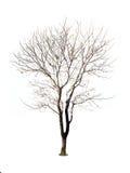Árvores isoladas sem as folhas no fundo branco Fotos de Stock