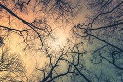 Árvores Leafless com fundo do céu alaranjado e azul fotografia de stock royalty free