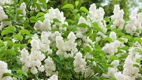 Árvores lilás brancas Foto de Stock Royalty Free