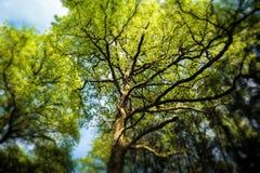 Árvores magníficas Imagem de Stock Royalty Free