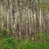 Árvores magros Fotografia de Stock Royalty Free