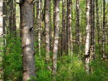 Árvores magros Fotos de Stock Royalty Free