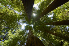 Árvores majestosas na floresta da sequoia vermelha de Califórnia foto de stock