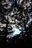 Árvores mostradas em silhueta contra um céu azul Fotos de Stock Royalty Free