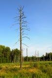 Árvores murchos no pântano Imagens de Stock Royalty Free