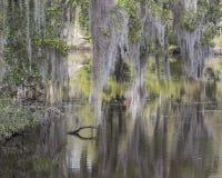 Árvores, musgo espanhol e reflexões Fotografia de Stock