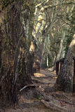 Árvores na caminhada e no trajeto de floresta Imagens de Stock