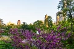 Árvores na flor e skyline de Manhattan no Central Park NYC fotografia de stock royalty free