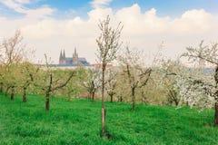 Árvores na flor em jardins de Petrin com castelo de Praga fotografia de stock royalty free