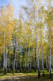 Árvores na floresta Imagens de Stock Royalty Free
