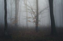 Árvores na floresta assustador escura com névoa em Dia das Bruxas Foto de Stock