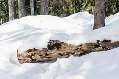 Árvores na floresta do inverno fotos de stock