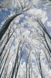 Árvores na floresta mágica do inverno com neve e fros Imagens de Stock Royalty Free