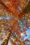Árvores na folha do outono, da terra que olha acima imagens de stock