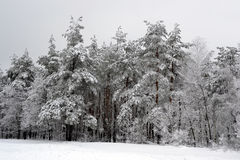 Árvores na neve Imagens de Stock Royalty Free