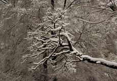 Árvores na neve após a queda de neve forte no inverno Fotos de Stock