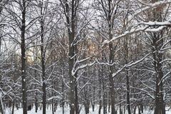 Árvores na neve na floresta do inverno no por do sol imagem de stock royalty free
