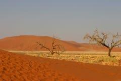 Árvores namibianas do deserto Imagem de Stock Royalty Free