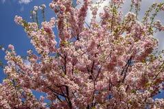 Árvores nas flores Fotografia de Stock Royalty Free