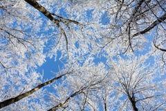 Árvores nevado do inverno Fotos de Stock