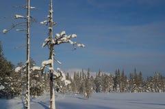 Árvores nevado em Laplans, Finlandia Fotografia de Stock