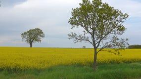 Árvores no campo da colza Imagens de Stock