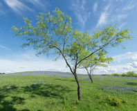 Árvores no campo do Bluebonnet, Texas, EUA ilustração stock