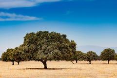 Árvores no campo seco Foto de Stock