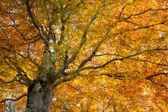 Árvores no fundo da estação do outono Imagem de Stock