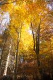 Árvores no fundo da estação do outono Imagem de Stock Royalty Free