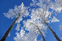 Árvores no hoarfrost fotografia de stock royalty free