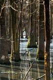 Árvores no pântano Fotografia de Stock Royalty Free