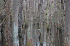 Árvores no pântano do cipreste Fotos de Stock Royalty Free